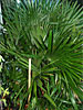 Needle Palm, Bowie, MD, USDA Zone 7a